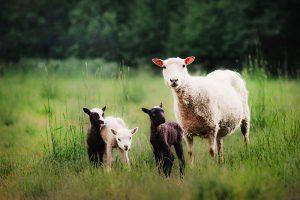 Myös kesälammas tarvitsee lajitoveriensa seuraa