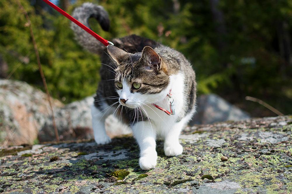 Kissan turvallinen ulkoilu